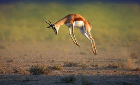 Foto de Running Springbok jumping high - Antidorcas Marsupialis - Kalahari -  South Africa - Imagen libre de derechos
