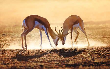 Springbok dual in dust - Kalahari desert - South Africa