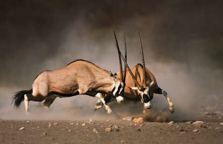 Photo pour Intense fight between two male Gemsbok on dusty plains of Etosha - image libre de droit