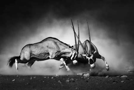 Photo pour Gemsbok dual (Artistic processing) - image libre de droit