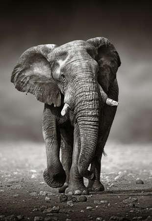 African Elephant Loxodonta Africana approach from the front   Etosha National Park Namibia