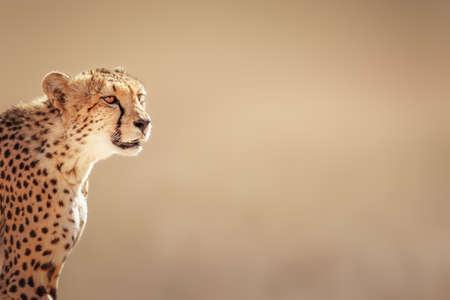 Foto de Cheetah portrait  - Kalahari desert - South Africa - Imagen libre de derechos