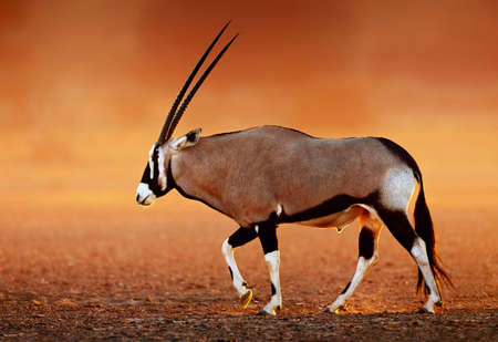 Photo pour Gemsbok  ( Oryx gazella) on dusty desert plains at sunset.  Kalahari -  South Africa - image libre de droit