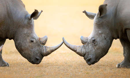 Photo pour White Rhinoceros (Ceratotherium Simum) head to head - Kruger National Park (South Africa) - image libre de droit