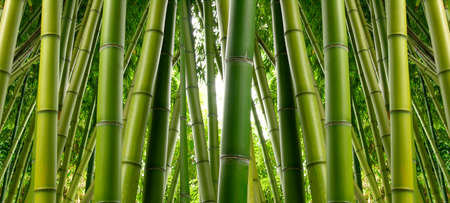Photo for Bamboo Jungle - Royalty Free Image