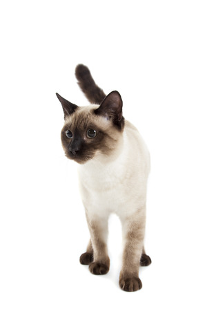 Siamese cat isolated over white background