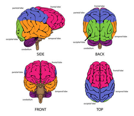 Illustration pour Human brain from all sides with sections in different colors and text labels - image libre de droit