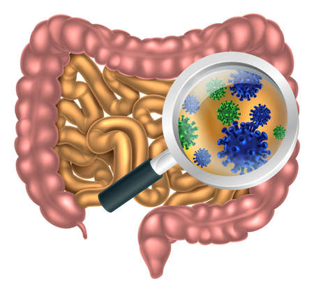 Illustration pour Magnifying glass focused on the human digestive system, digestive tract or alimentary canal showing bacteria or virus cells. Could be good bacteria or gut flora such as that encouraged by pro biotic products and foods - image libre de droit