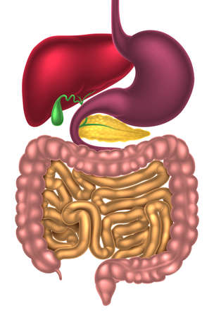 Illustration pour Human digestive system, digestive tract or alimentary canal - image libre de droit