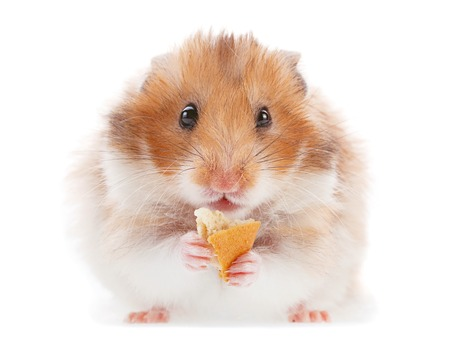Photo for Hamster pet eating cookie on white - Royalty Free Image