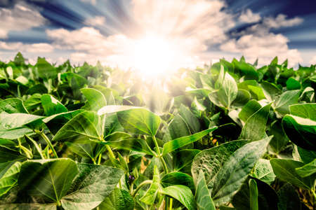 Photo pour Powerful Sunrise behind closeup of soybean plant leaves. Blue Sky with white clouds and golden light. Focus on the leaves. - image libre de droit