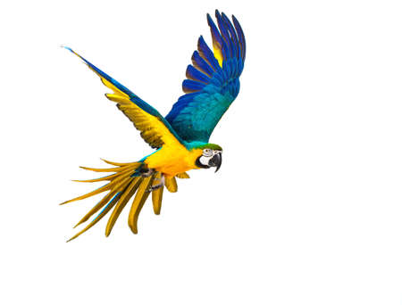 Photo pour Colourful flying parrot isolated on white - image libre de droit