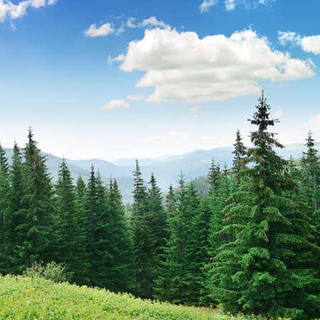 Photo pour Beautiful pine trees on background high mountains.                                     - image libre de droit
