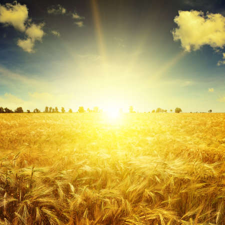 Foto de Beautiful sunrise over a field of wheat - Imagen libre de derechos