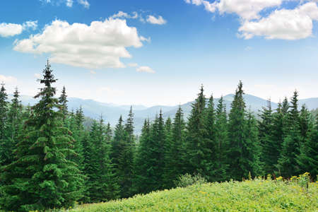 Photo for Beautiful pine trees on background high mountains - Royalty Free Image