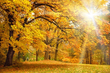 Photo for Gold Autumn with sunlight  and sunbeams / Beautiful Trees in the forest - Royalty Free Image