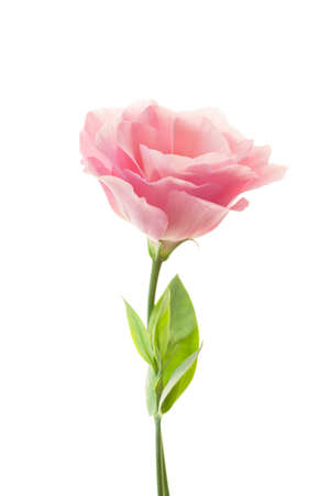 Photo for Pure romantic pink rose with fresh leaves isolated on white - Royalty Free Image