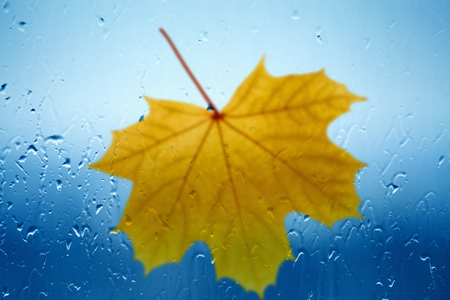 Autumn background - maple leaf falls outside window glass with rain drops, rainy day