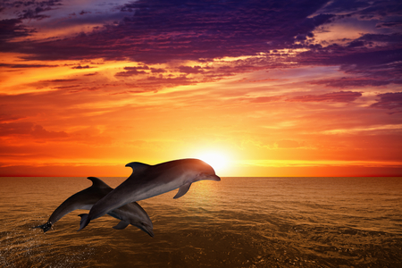 Foto de Marine life background - jumping dolphins, beautiful red sunset on sea - Imagen libre de derechos