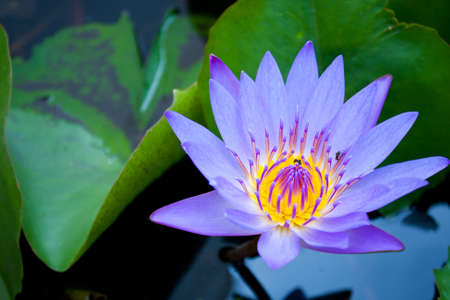 Photo for Light blue Lotus bloom more fully refreshed and comfortable.  - Royalty Free Image
