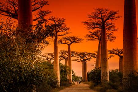 Foto de Sunset in famous Avenida de Baobab near Morondava in Madagascar - Imagen libre de derechos