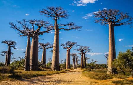 Foto de Famous Avenida de Baobab near Morondava in Madagascar - Imagen libre de derechos