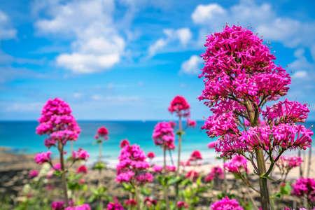 Foto de Pink flowers growing above St Ives premier golden Porthmeor beach, Cornwall, England, UK, Europe - Imagen libre de derechos