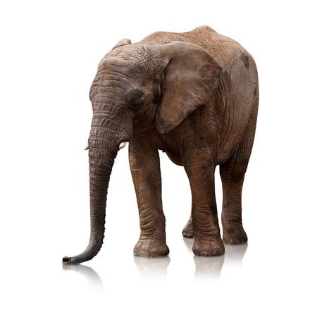 elephant on a reflective surface on white background