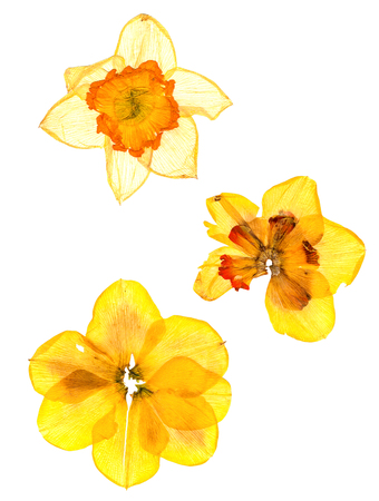 Photo for dry narcissus perspective flowers and petals of jonquil, isolated on white background - Royalty Free Image