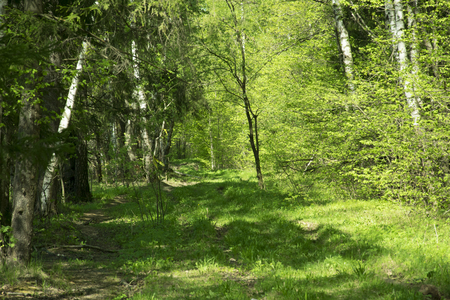 Photo for spring panorama of a scenic forest of trees with fresh green leaves and the sun casting its rays of light through the foliage - Royalty Free Image