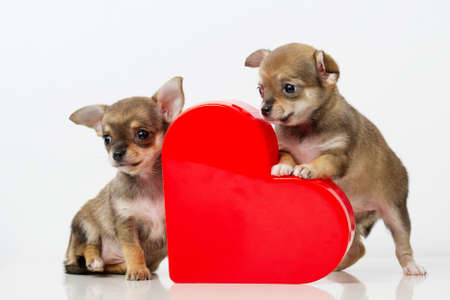 Foto de photo of cute puppies Chihuahua with red heart - Imagen libre de derechos