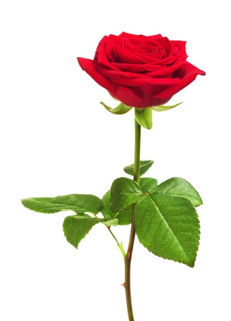 Photo pour single red rose flower, isolated on white background - image libre de droit