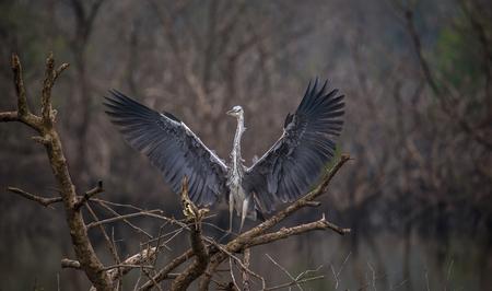 Foto de Grey Heron standing on top of a tree with wings spread out - Imagen libre de derechos