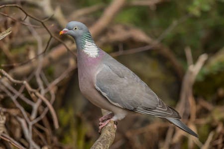 Photo for Wood pigeon, perched on a branch, close up - Royalty Free Image
