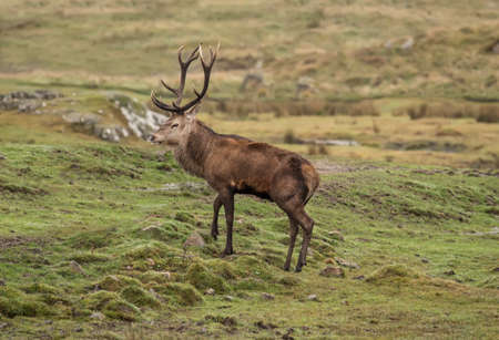 Photo for Red deer stag on a hillside in the Highlands of Scotland - Royalty Free Image