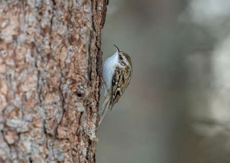 Photo for Treecreeper perched on a tree trunk looking for food - Royalty Free Image