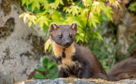 Photo for Pine marten on a rock, close up - Royalty Free Image