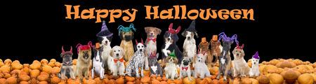 Foto de Happy halloween dogs on black background - Imagen libre de derechos