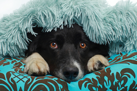 Photo for Border Collie dog hiding beneath a soft blanket indoor - Royalty Free Image
