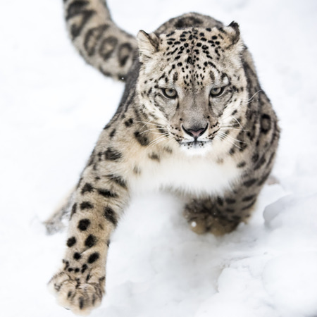 Photo pour Snow Leopard Running in Snow - image libre de droit