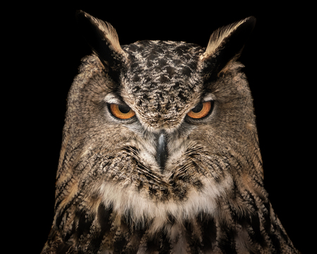 Photo for A Frontal Portrait of an Eurasian Eagle Owl Against a Black Background - Royalty Free Image