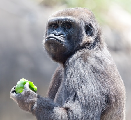 Gorilla eating apple