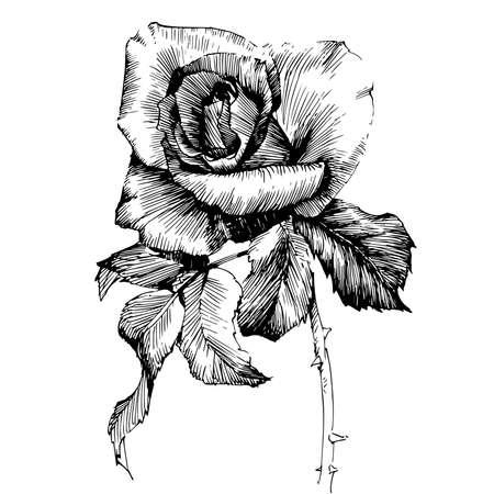 Illustration for Rose Ink drawing flower vector illustration and line art. Floral illustration. - Royalty Free Image