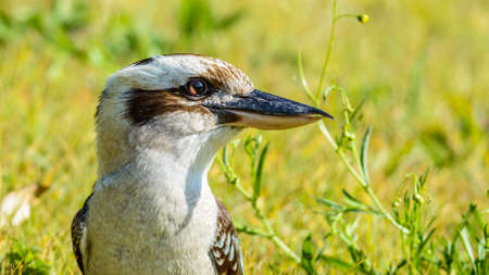 Photo pour Laughing Kookaburra in Australia with green background - image libre de droit