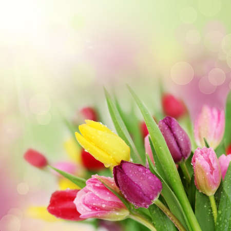 Photo for Colorful fresh spring tulips flowers with dew drops - Royalty Free Image