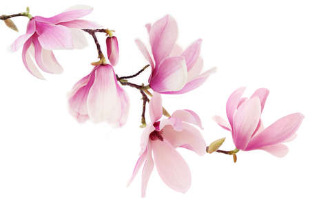 Foto de Beautiful pink spring magnolia flowers on a tree branch - Imagen libre de derechos