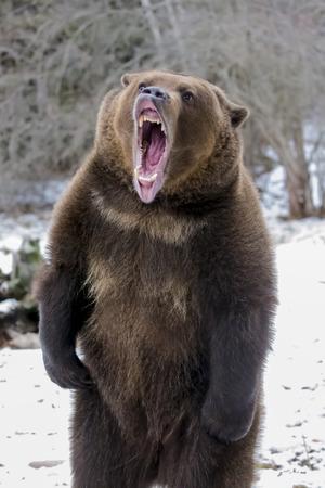 Photo pour A Grizzly Bear enjoys the winter weather in Montana - image libre de droit