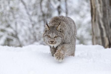 Photo pour A bobcat hunts for prey in a snowy forest habitat. - image libre de droit