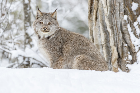 Foto de A bobcat hunts for prey in a snowy forest habitat. - Imagen libre de derechos