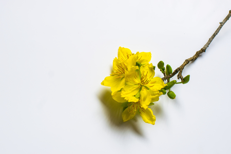 Photo for Yellow Apricot Flower isolated on white background, traditional lunar new year in Vietnam - Royalty Free Image